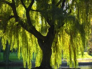 Weeping Willow will weather the storm. So will I.